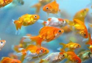 Evde Japon Balığı Bakımında Veteriner Tavsiyeleri