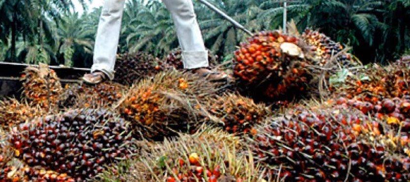 palm-yagi-bitkisi