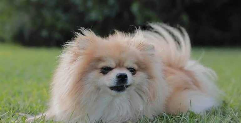 Pomeranian-Boo-kopek-fiyatlari
