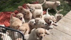 Köpek Fiyatları 2021 (Pug, Boo, Golden, Malta Süs V.b Tüm Yavru Köpeklerin Fiyatları)